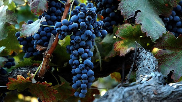 Australian Shiraz Grapes