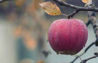 Manzana roja mojada colgando de un árbol con hojas secas