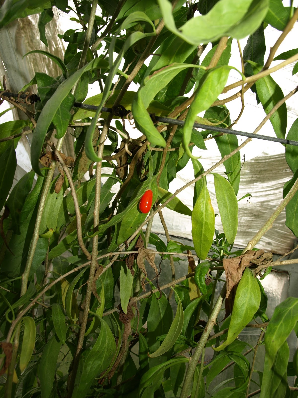 Ro liny tropikalne kolcow j chi ski jagody goji z nasion for Jagody goji w tabletkach