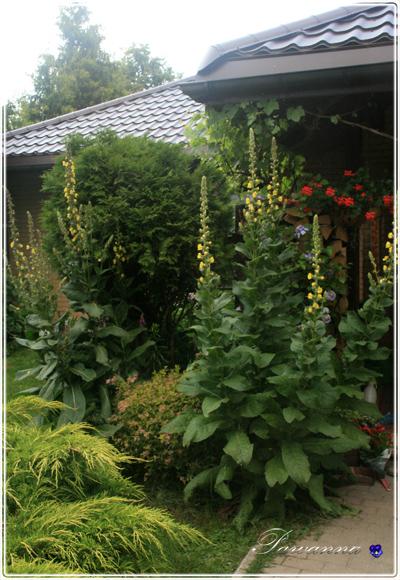 przedogródek, garden in front, cotage garden