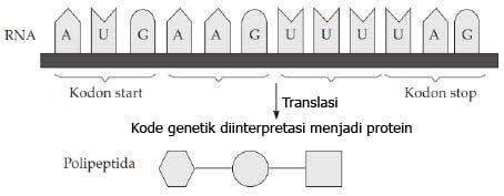 Pembahasan Soal Ujian Nasion al Sintesis Protein