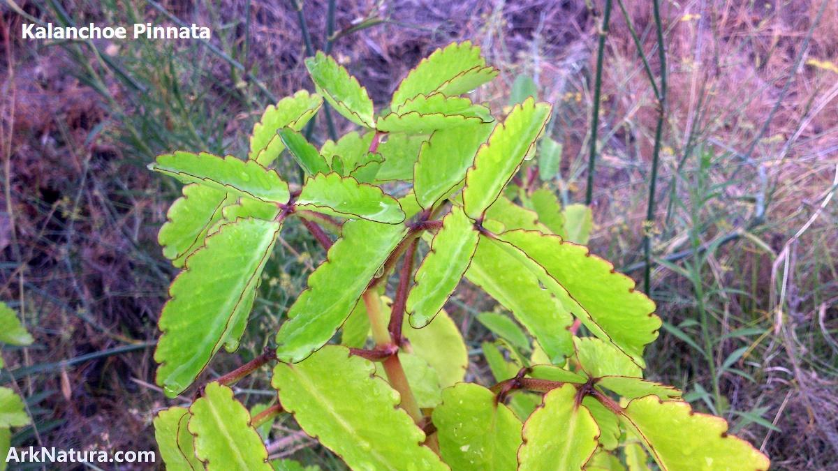 Cultivo de plantas medicinales