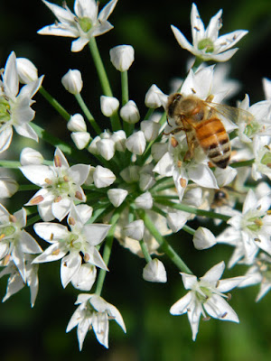 Allium and bee at the Toronto Botanical Garden by garden muses-not another Toronto gardening blog