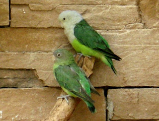 Jenis Lovebrid - Lovebrid Madagaskar - Penangkaran Burung Lovebrid