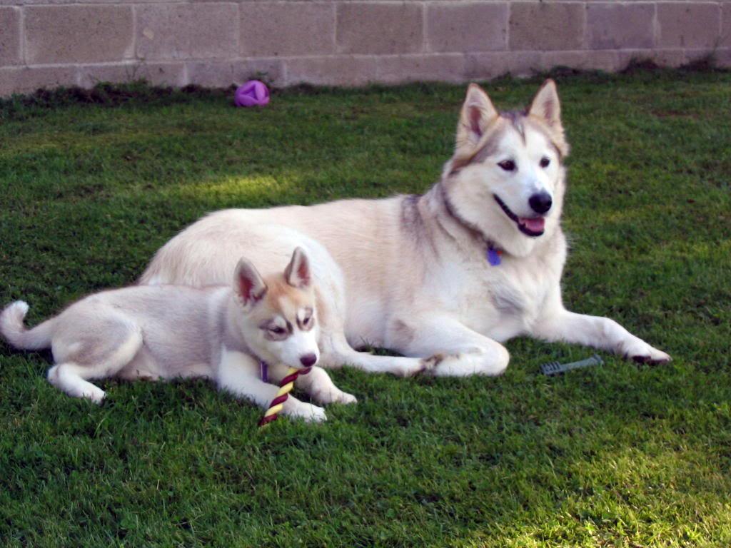 wallpaper dogs pitbull