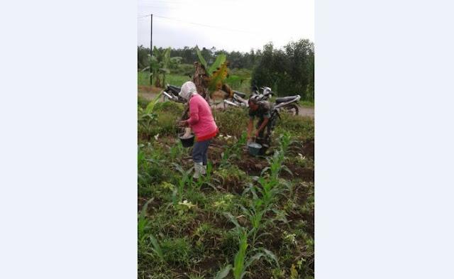 Pelda Beny S. Daulay Lakukan Pemupukan Tanaman Jagung Bersama Petani di Desa Tengah