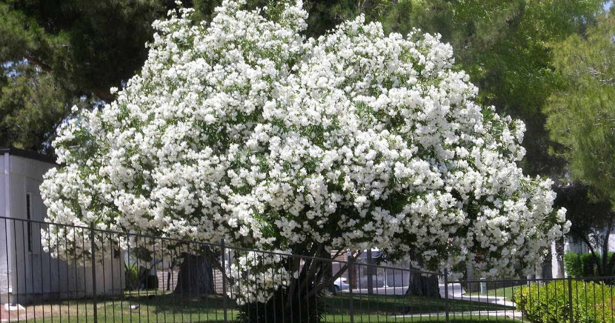 Xtremehorticulture Of The Desert Pruning Oleander Into A