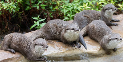 Otter - animals starting with letter O