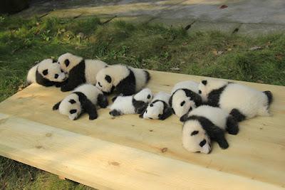 Bonita foto de criadero de pandas