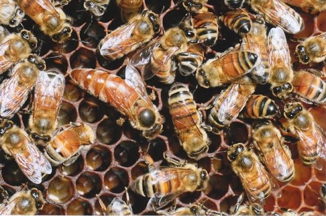Εύκολη θεραπεία για βαρρόα νοζεμίαση και παγίδα για κηρόσκορο: Τι κάνουν οι έμπειροι μελισσοκόμοι