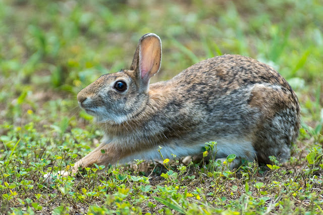 Cottontail Rabbit, Post Oak Park