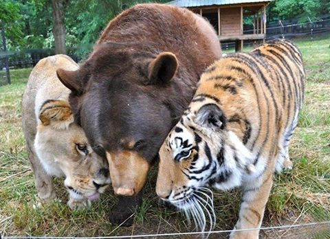 Friendship bear and tiger