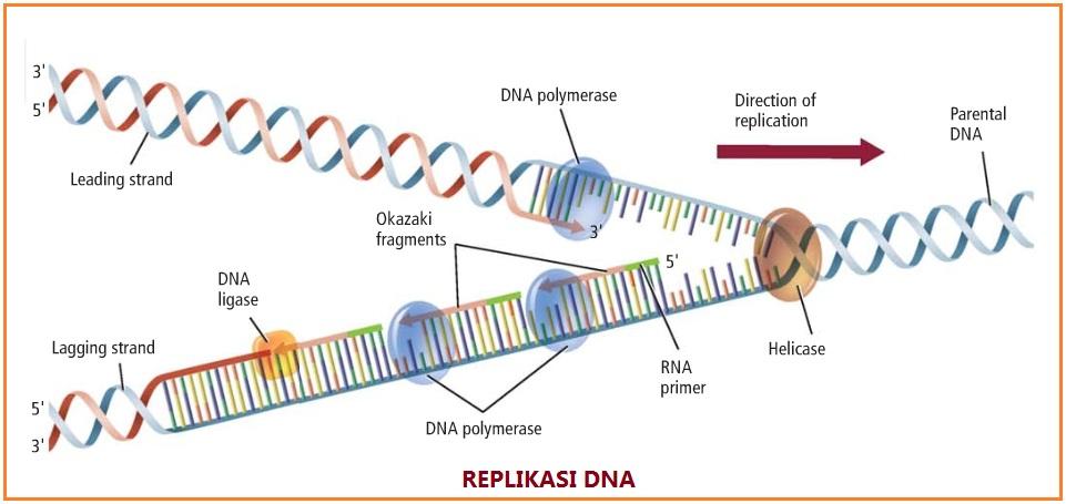 Proses Replikasi Dna Info Pendidikan Dan Biologi