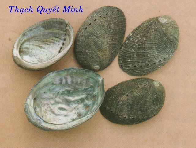 Thạch Quyết Minh - Concha Haliotidis - Nguyên liệu làm thuốc Chữa Đau Dạ Dày