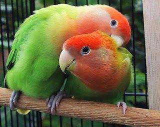 lovebird sakit