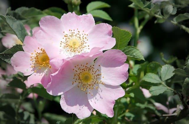 bunga mawar wild rose