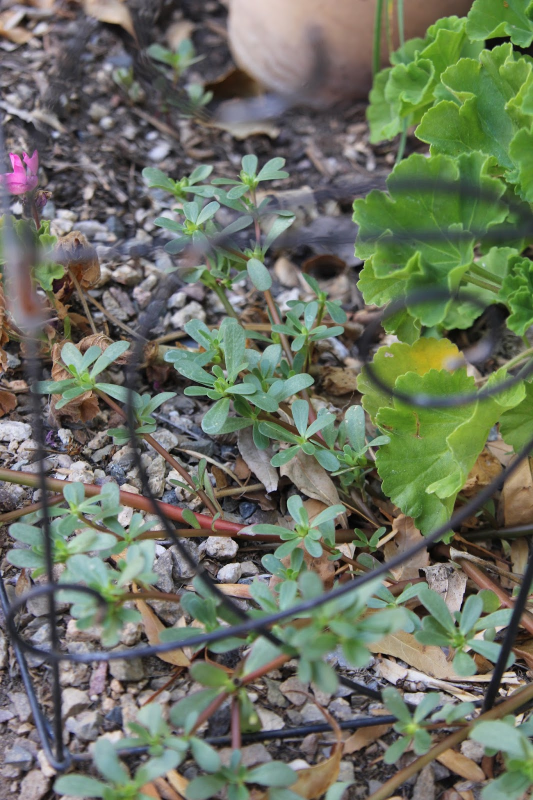 Growing Purslane How To Grow Edible Purslane In The Garden: To Market, To Market With San Diego Foodstuff