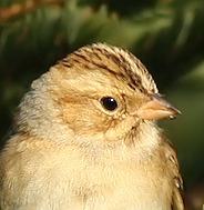 Clay-coloured Sparrow head, CCSP