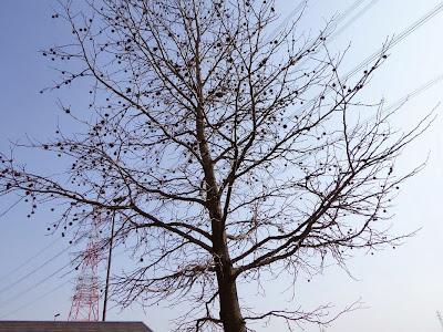 山田池公園のモミジバフウ(別名:アメリカフウ)の実