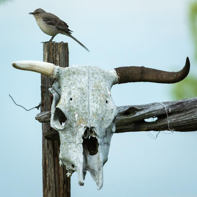 Mockingbird and Cattle Skull