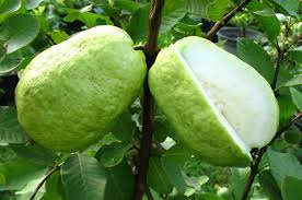 You Must Know Of The Amazing Health Benefits Of Guava Crystals For Health - Healthy T1ps