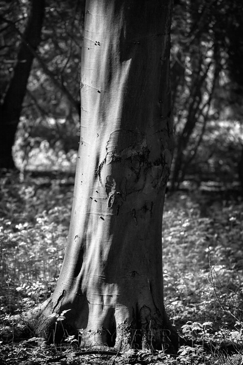 Portrait of a tree in Lynford Arboretum in monochrome at Thetford Forest