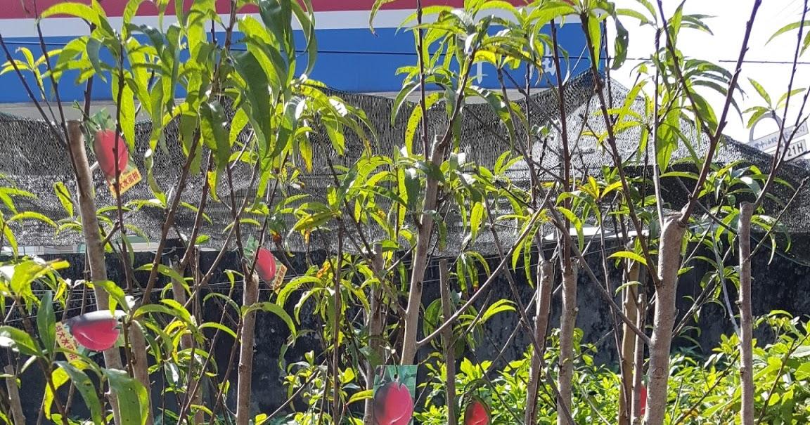 岷成果樹苗園-果語樹學-水果樹苗專賣: 特大水蜜桃苗-熱帶水蜜桃,平地水蜜桃