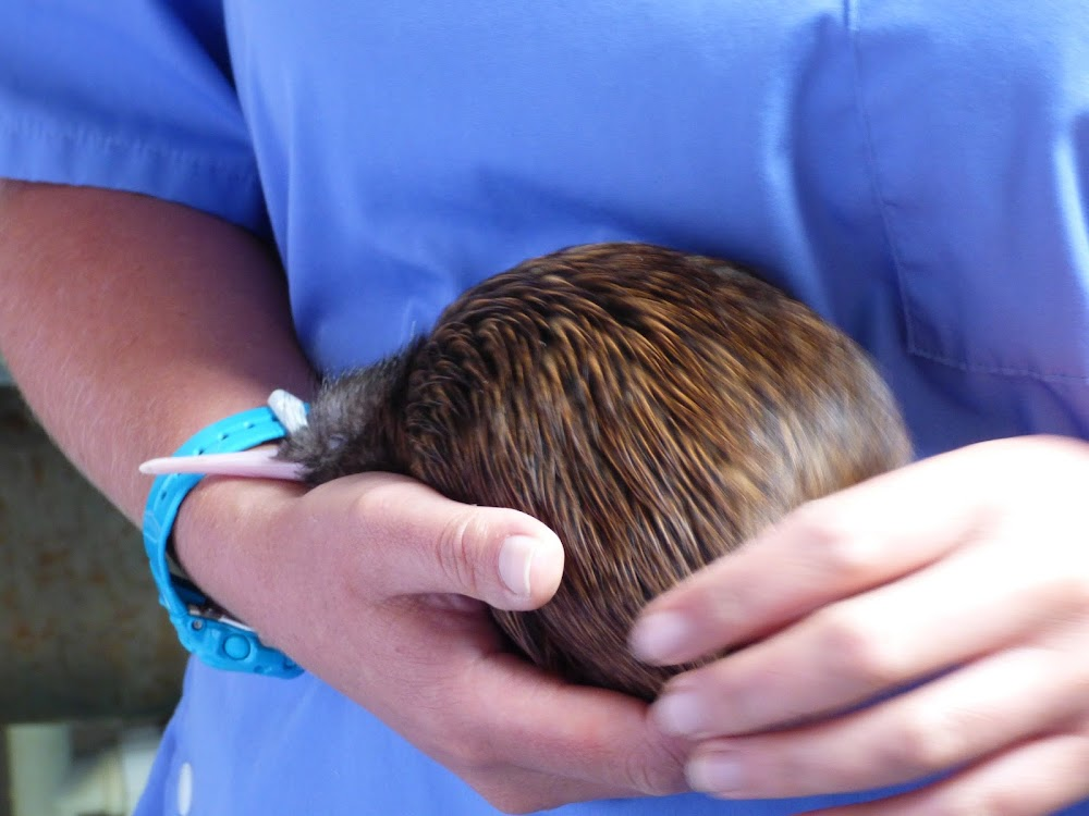 auckland zoo kiwi close encounter