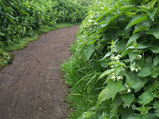 Bike track with banks of white dead nettle on either side
