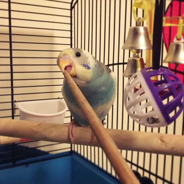 budgie how to clicker train