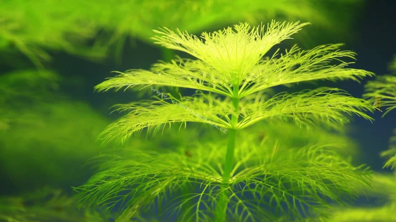 Cận cảnh vẻ đẹp của cây thủy sinh Đại Bảo Tháp