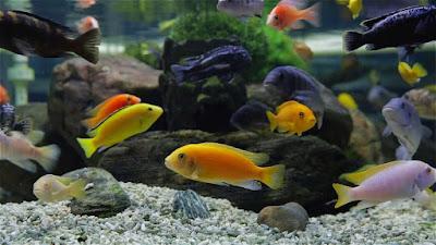 Cichlid Fish Aquarium Size Cichlid Types