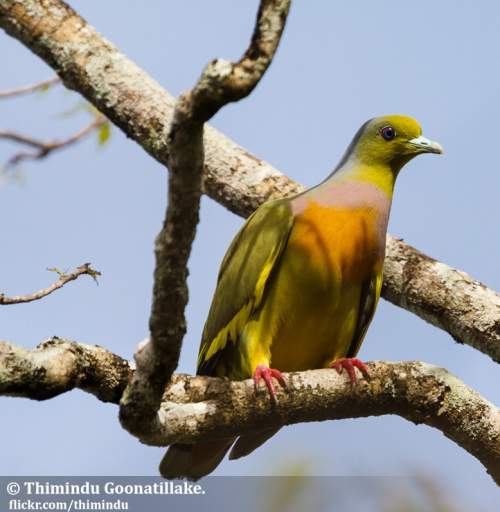 Indian birds - Image of Orange-breasted green pigeon - Treron bicinctus