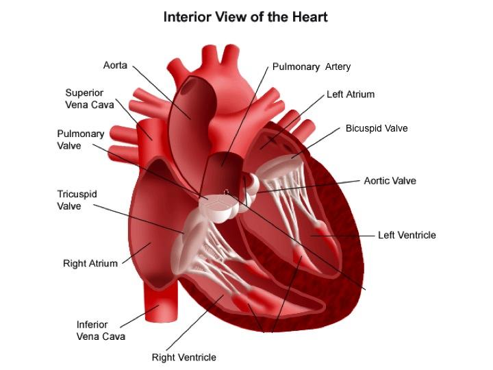 Mrs Rachel Lehming's Biology Classes: The Heart & The ...