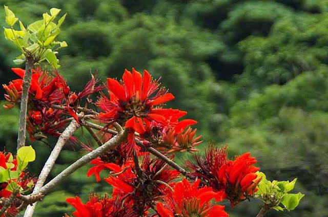flowers, Deigo, Okinawa