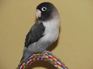 burung lovebird batman ciri ciri harga dan gambar nya