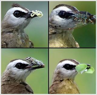 Burung kutilang trucuk