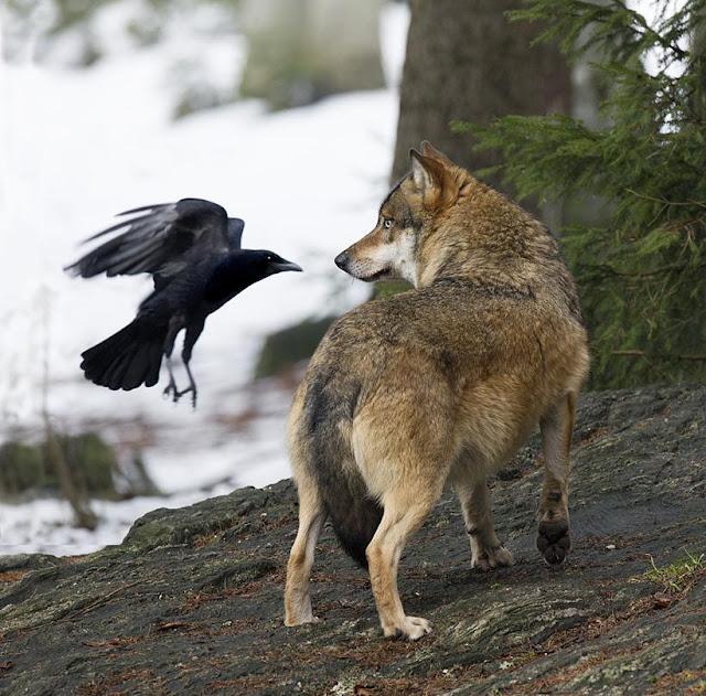 Les animaux magiques : le corbeau et la corneille  309988_d47d4408d921e502ec7a9abd26f7d667_large