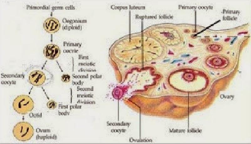 Biologi gonzaga gametogenesis proses oogenensis dipengaruhi oleh beberapa hormon yaitu ccuart Choice Image