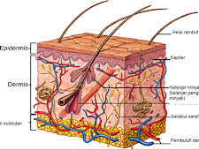 Struktur Anatomi Kulit Manusia