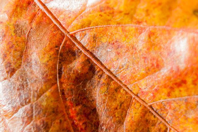 Fotografía de la hoja de una enredadera de color amarillo por el otoño