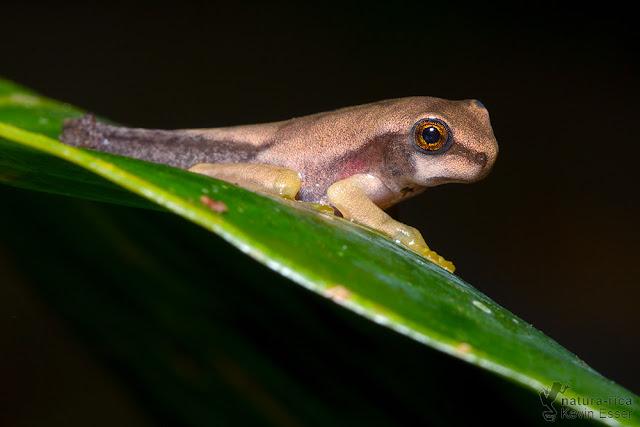 Smilisca phaeota - Masked Treefrog