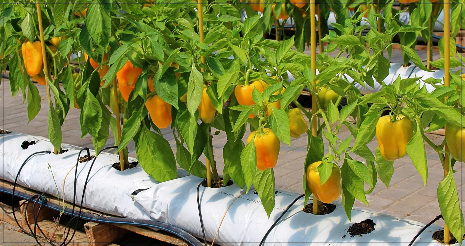 Beberapa Jenis Sayuran Hidroponik Dengan Nilai Jual Tinggi
