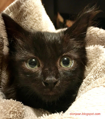 Eartha the foster kitten in a towel