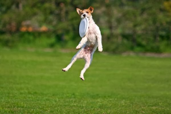 Funny Flying Dog Animals Facts Amp Latest Pictures Funny
