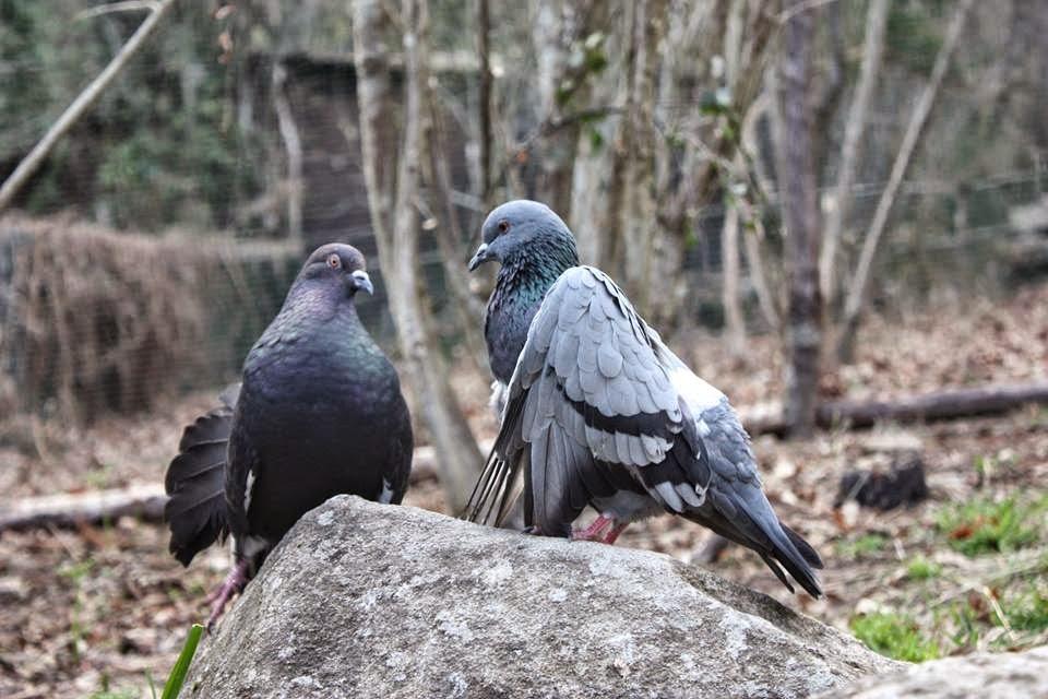Recogida palomas heridas