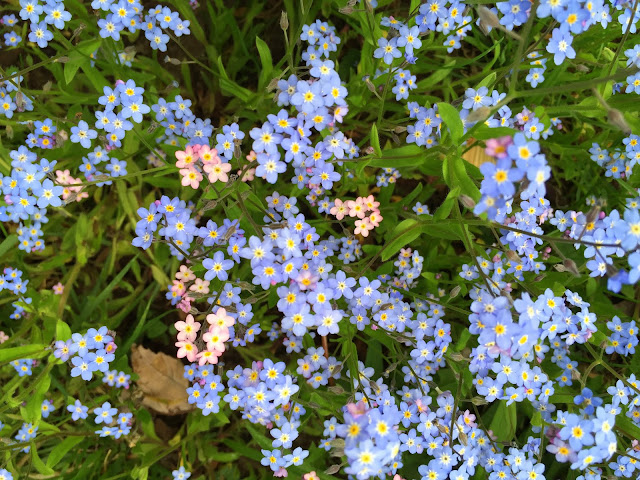 Last year's forget-me-nots - I can't wait!