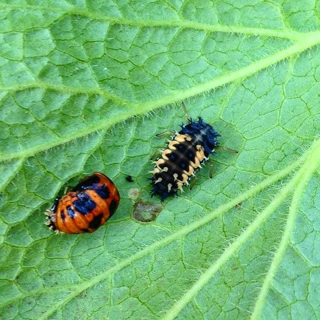 Boise Daily Photo Garden Shot Ladybug Sisters