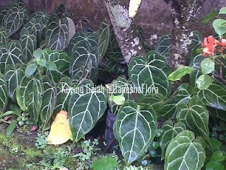 Kuping Gajah (Anthurium Crystalinum)