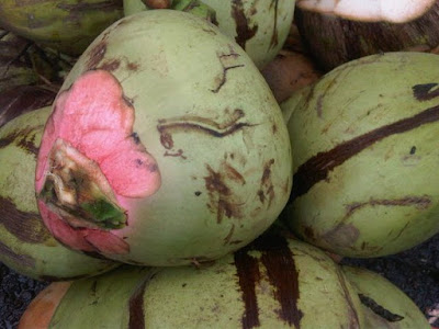 kelapa serat merah degan wulung asli